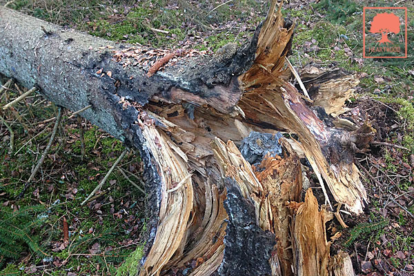 HEARTWOOD   ISA-certifierad arborist   TRAQ   Riskbedömning av träd